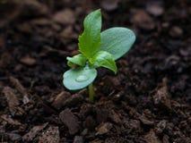 Almácigo joven del manzano 3 semanas después de brotar de la tierra con las gotitas de agua en las hojas fotografía de archivo libre de regalías