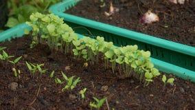 Almácigo vegetal Foto de archivo