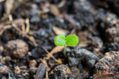 Almácigo verde en la tierra Fotografía de archivo