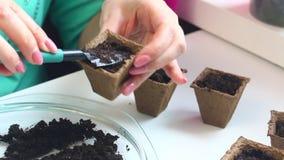 Almácigos crecientes en casa La mujer está llenando el suelo de un pote de la turba Después que ella comienza a sembrar las semil almacen de video