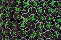 Almácigos crecientes en potes de la turba Plantas que siembran en la luz del sol en invernadero moderno de la botánica, visión su imagen de archivo libre de regalías