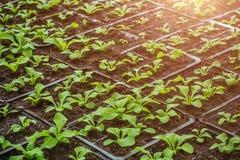 Almácigos crecientes en potes Plantas que siembran en invernadero moderno, horticultura y el cultivo de la botánica de planes orn imágenes de archivo libres de regalías