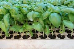 Almácigos de la albahaca, hierba aromática de los almácigos verdes, cultivando un huerto fotos de archivo libres de regalías