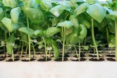 Almácigos de la albahaca, hierba aromática de los almácigos verdes, cultivando un huerto fotografía de archivo