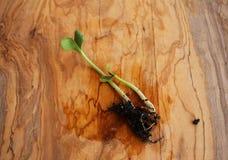 Almácigos de la calabaza en la tabla verde oliva de madera foto de archivo