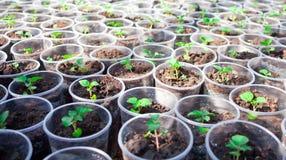 Almácigos de la hierba que crecen en latas Imágenes de archivo libres de regalías