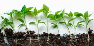 Almácigos de la pimienta Pimienta en el cultivo del invernadero Almácigos en el invernadero fotografía de archivo libre de regalías