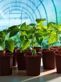 Almácigos de la pimienta en invernadero Imagen de archivo libre de regalías
