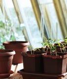Almácigos de la pimienta en potes Imagen de archivo libre de regalías