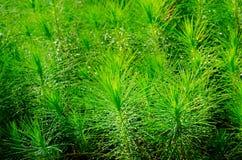 Almácigos de la silvicultura del pino Fotografía de archivo