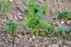 Almácigos de la zanahoria - huerto ecológico Imágenes de archivo libres de regalías