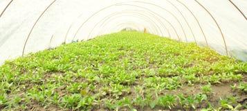 Almácigos de las pimientas jovenes que crecen en un invernadero debajo de la película plástica Veh?culos org?nicos Agricultura Cu imagen de archivo libre de regalías