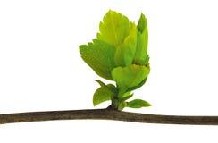 Almácigos de los árboles de goma Foto de archivo libre de regalías