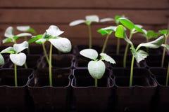 almácigos de los pepinos, pequeños brotes en los potes negros, plántulas verdes imagen de archivo libre de regalías