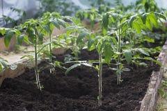 Almácigos de los tomates que crecen en el invernadero Foto de archivo libre de regalías
