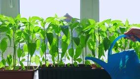 Almácigos de riego de la pimienta del jardinero que crecen en el alféizar