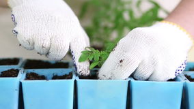 Almácigos de trasplante del tomate del jardinero en los potes individuales metrajes