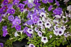 Almácigos de Violet Petunia Flowers Foto de archivo libre de regalías