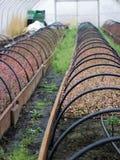 Almácigos del arándano del highbush en invernadero imagen de archivo