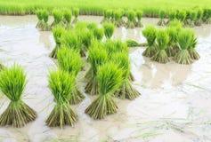 Almácigos del arroz. Imagen de archivo