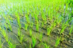 Almácigos del arroz Imagen de archivo