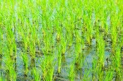 Almácigos del arroz Fotos de archivo libres de regalías