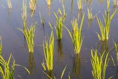 Almácigos del arroz Imagen de archivo libre de regalías