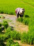 Almácigos del arroz del retiro Foto de archivo libre de regalías