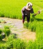 Almácigos del arroz del retiro Fotografía de archivo libre de regalías