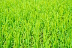 Almácigos del arroz que crecen y que plantan en el campo Foto de archivo