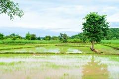 Almácigos del arroz del trasplante Fotos de archivo