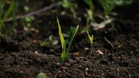 Almácigos del brote de la tierra en primavera almacen de metraje de vídeo