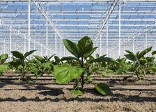 Almácigos del calabacín que crecen en primer del invernadero fotos de archivo
