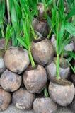 Almácigos del coco Foto de archivo