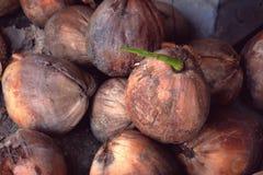Almácigos del coco Imágenes de archivo libres de regalías