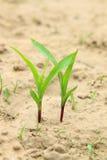 Almácigos del maíz en el campo Fotos de archivo
