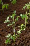 Almácigos del tomate crecidos para el jardín Árboles jóvenes del tomate en el invernadero en la primavera imagen de archivo