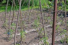 Almácigos del tomate en las ayudas del jardín con postes de madera fotografía de archivo