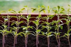 Almácigos del tomate que crecen en un invernadero Foto de archivo