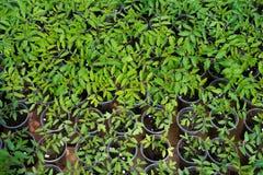 Almácigos del tomate que crecen en un invernadero Imágenes de archivo libres de regalías
