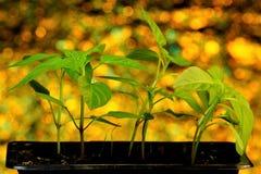 Almácigos del tomate, una planta agrícola popular crecida por los jardineros Almácigos - plántulas en suelo protegido y entonces  imagen de archivo