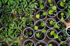 Almácigos del tomate y de la berenjena que crecen en un invernadero Foto de archivo