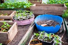 Almácigos en bandejas y potes en el invernadero Fotografía de archivo