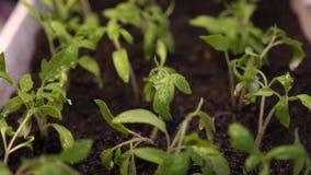 alm?cigos en el invernadero que riega al jardinero Salpica de mosca del agua a los lanzamientos verdes C?mara lenta farming almacen de video