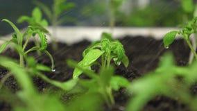 alm?cigos en el invernadero que riega al jardinero Salpica de mosca del agua a los lanzamientos verdes C?mara lenta farming metrajes