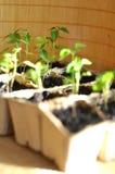 Almácigos en la tierra Foto de archivo libre de regalías