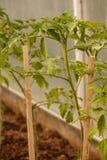 Almácigos jovenes del tomate en el invernadero Imágenes de archivo libres de regalías