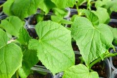 Almácigos jovenes verdes de los pepinos para plantar Imágenes de archivo libres de regalías