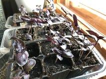 Almácigos púrpuras hechos en casa de la albahaca en el alféizar al lado de la ventana fotos de archivo