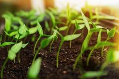 Almácigos que crecen en las cajas que alcanzan para la luz del sol brillante Concepto rural agrícola de la ecología imagen de archivo libre de regalías